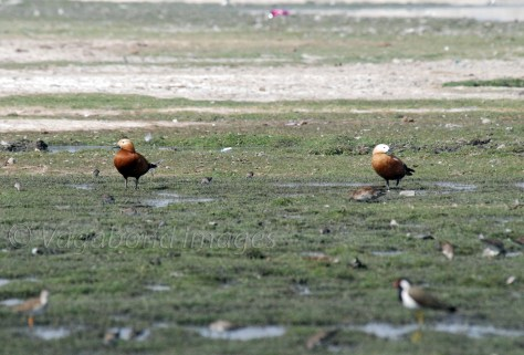 a pair of Brahminy Shelduck
