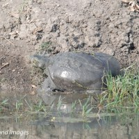 The giant turtles of Keoladeo national park
