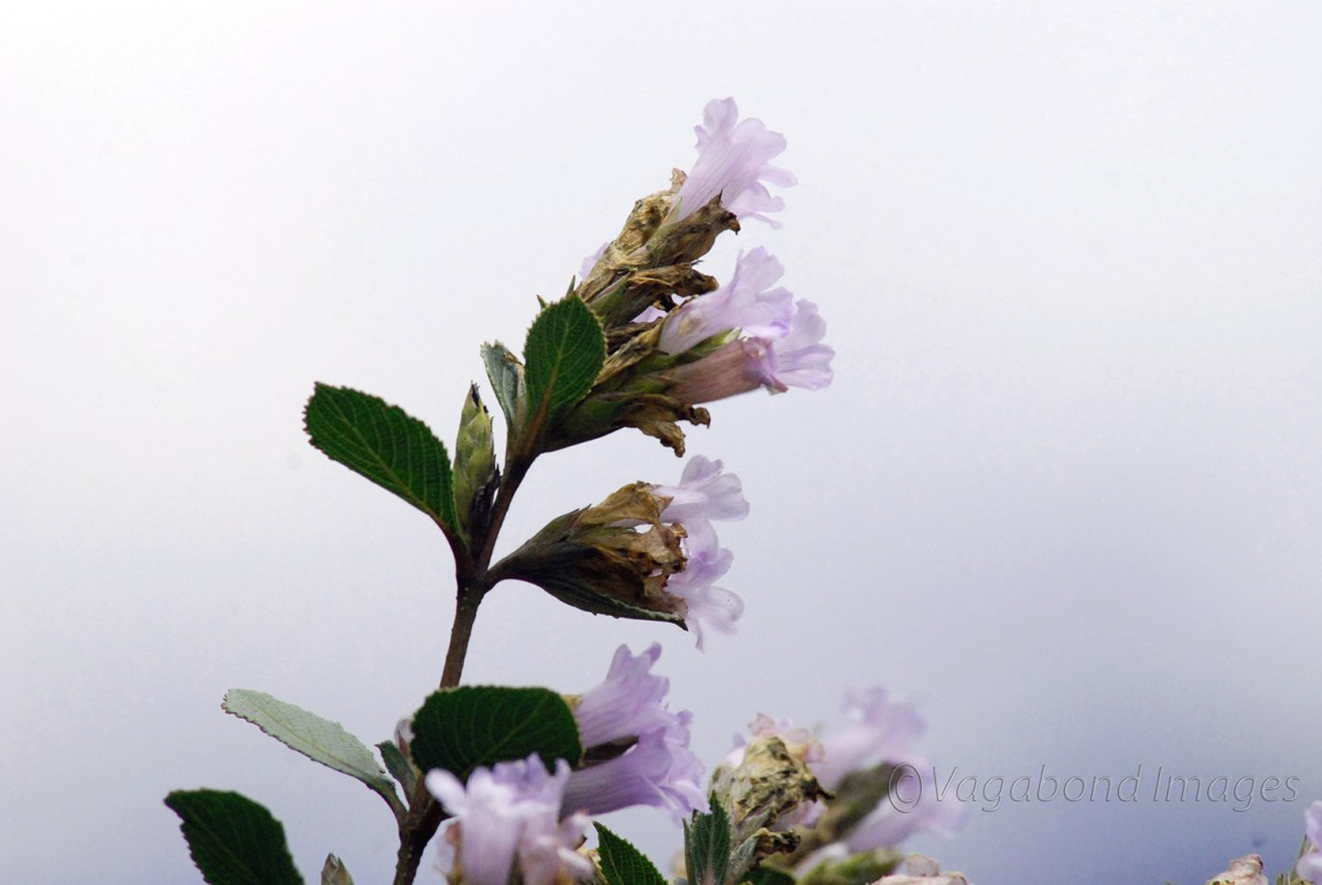 On the Neelakurinji trail at Eravikulam National Park