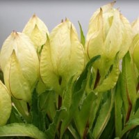 Flowers of trekking: Sighting of rare Brahma Kamal