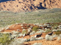 Valley of FIre, Big Horn Sheep