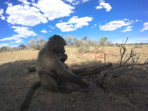 Babouin Namibie