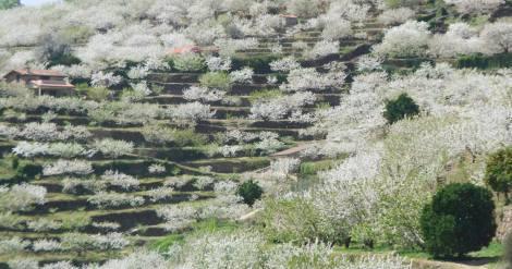 Panorámica de los cerezos en flor en el valle del Jerte, Extremadura