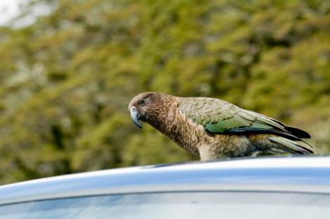 El kea, un loro que da la bienvenida a los turistas en nuestro camino hacia Milford Sound