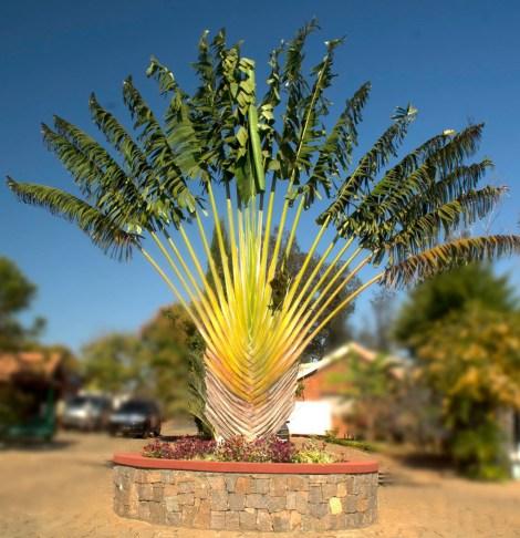 El árbol del viajero, todo un símbolo malgache