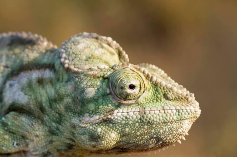 """Primer plano de un camaleón (hembra) """"cazado"""" por los niños de Morondava"""