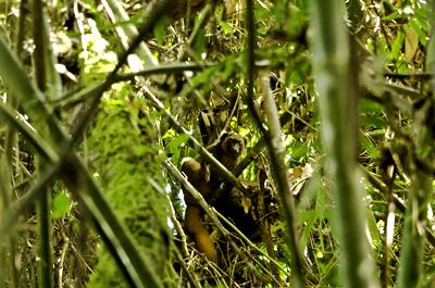 Lemur Dorado, descubierto en Ranomafanaen 1986