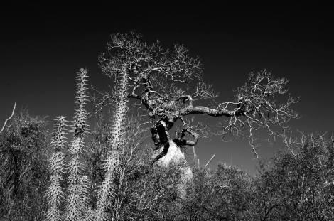 El bosque espinoso en la Reserva de Reniala