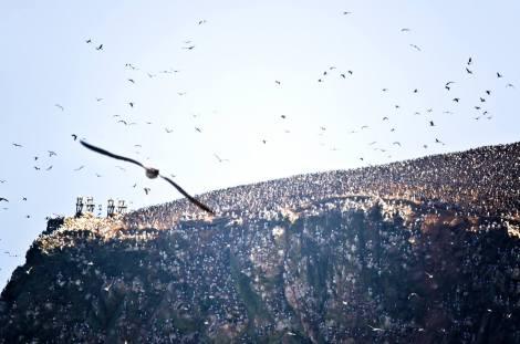 Miles de aves habitan las islas Ballestas, donde se obtienen grandes cantidades de