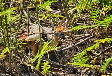 El esquivo hoacín vivía en un estanque en las inmediaciones de la Hacienda Concepción donde nos alojábamos