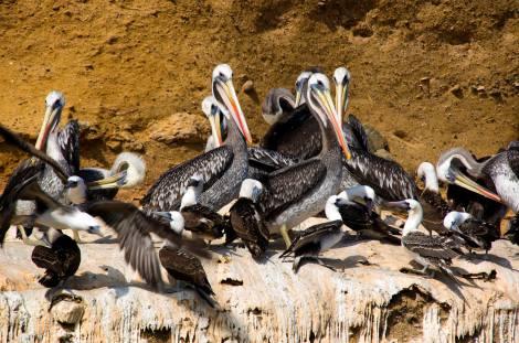 Los pelícanos nos observan a nuestro paso en lancha por las islas Ballestas