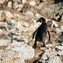 En las islas Ballestas es posible ver miles de aves, pingüinos y leones marinos
