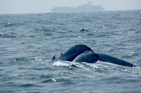 Ver ballenas azules, los animales más grandes del planeta, es posible en Mirissa