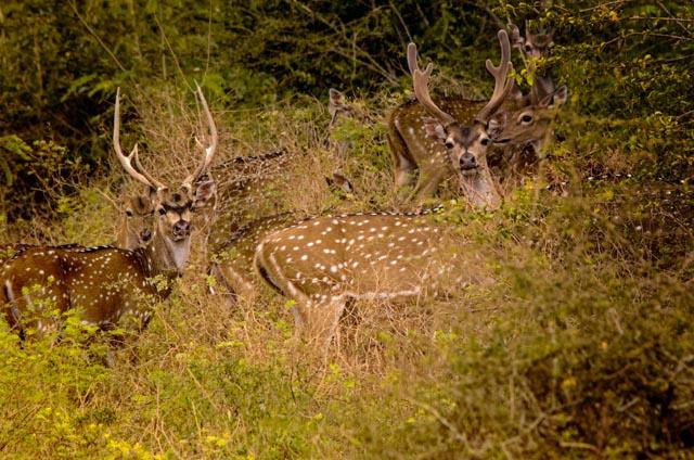 En Yala vimos montones de ciervos moteados (o como prefiero llamarlos, Bambis)