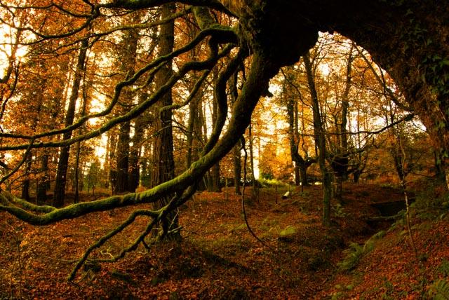 Las hojas tiñen el suelo de tonos rojizos y dorados mientras las ramas de las hayas se cubren de musgo