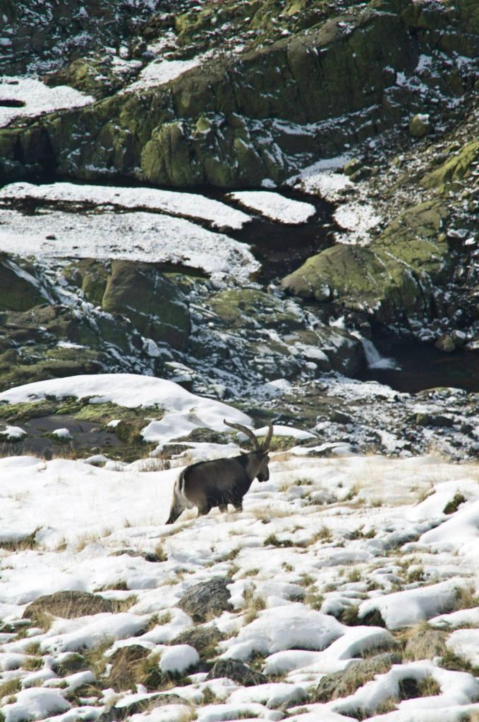 En esta ruta es habitual encontrarse con cabras montesas: la vista es aún más especial, rodeada de nieve