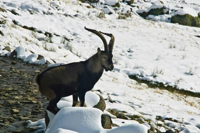 Y en el camino de vuelta, a pocos pasos de la Laguna Grande, nos encontramos con el rey de Gredos: la cabra montés
