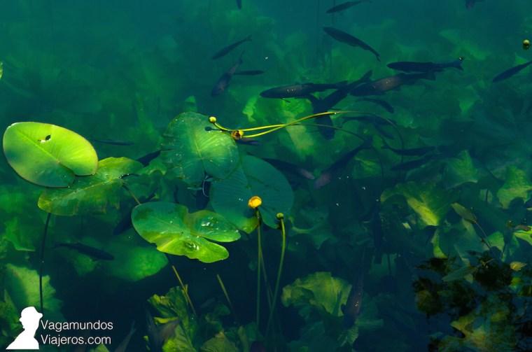 La buena conservación del parque hace que las aguas del río Krka estén limpísimas ¡y llenas de vida!