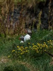 Logramos ver frailecillos al sur de Islandia, en la playa Reynisfjara