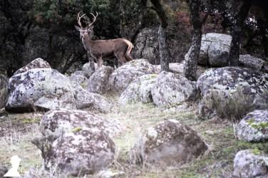 Además de linces, en la sierra de Andújar es posible ver otros animales, como ciervos