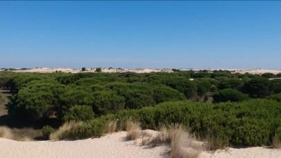 La arena va sepultando los árboles y matorrales: son las dunas móviles de Doñana