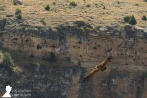 En las hoces del Duratón habita una importante colonia de buitres leonados