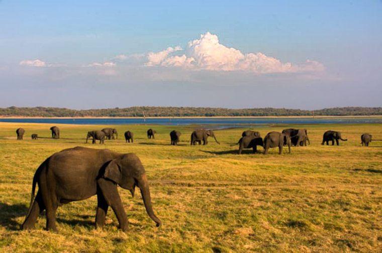 Elefantes en el Parque Minneriya, en Sri Lanka