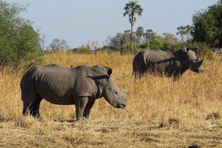 Pareja de rinocerontes blancos en la reserva de Moremi, Botswana