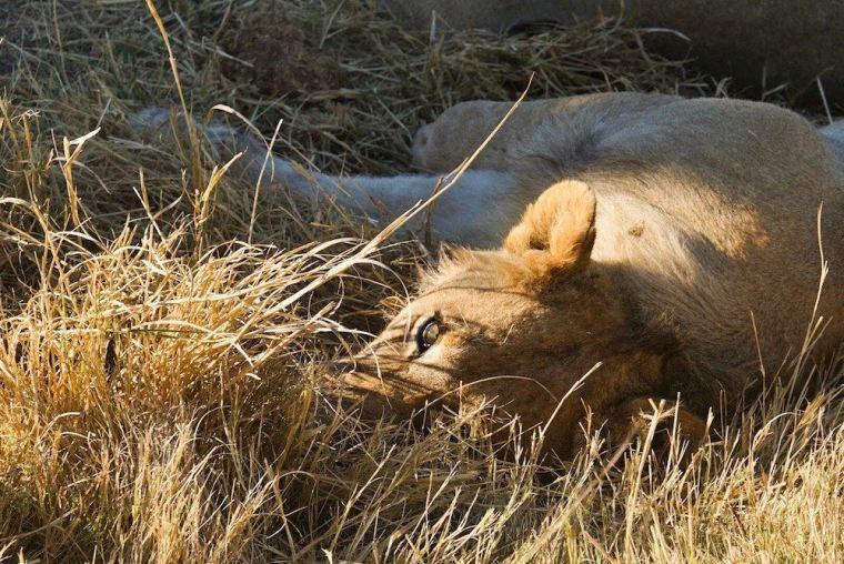 Un león descansando en la reserva Moremi de Botswana