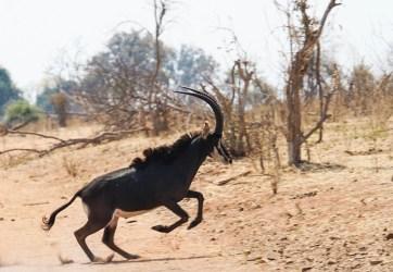 Un antílope sable (denominado así por la forma de sus cuernos), visto durante un safari en Chobe, Botswana