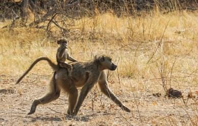 Un babuino con su cría caminando por el Parque Nacional de Chobe, Botswana