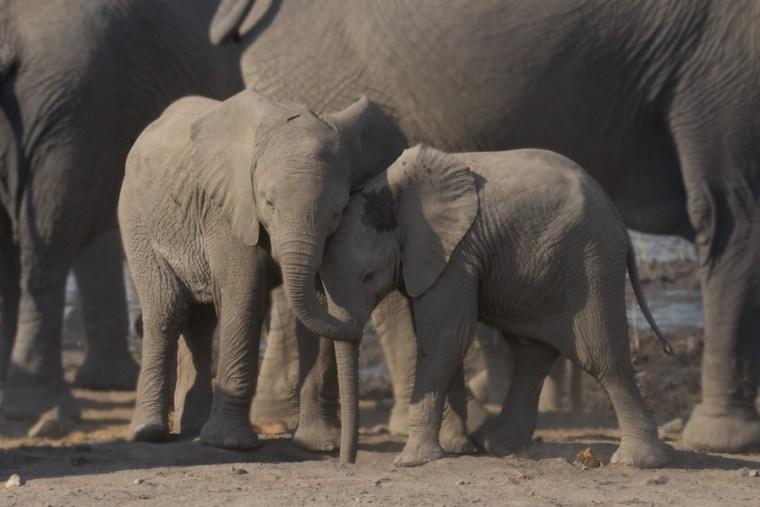 Pequeños elefantes jugando en una de las charcas del Parque Etosha, Namibia