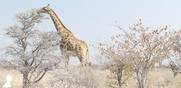 Una jirafa en el Parque Nacional Etosha, Namibia
