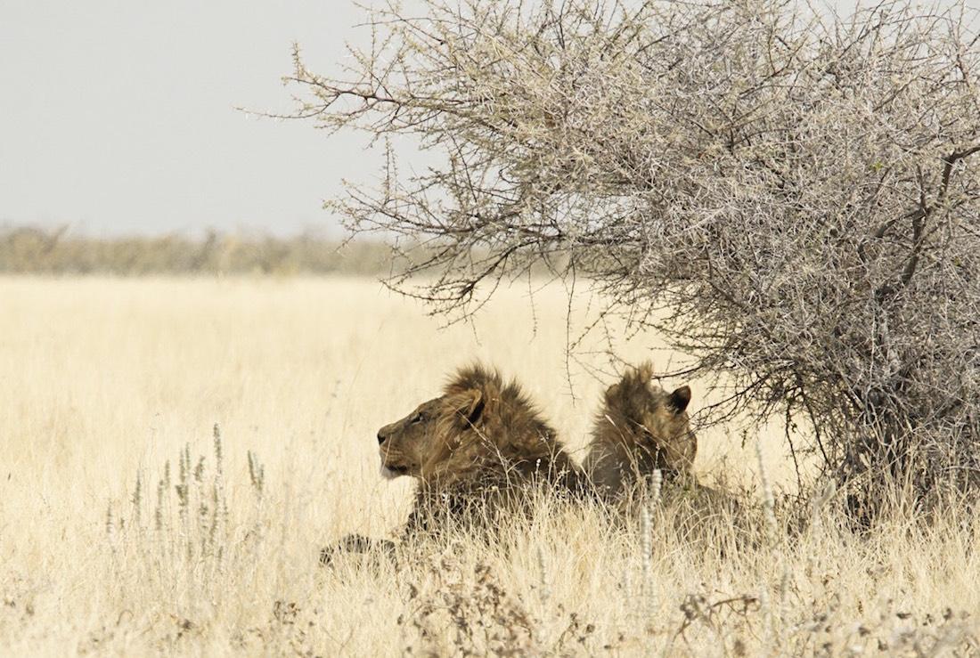 De safari en Etosha, Namibia