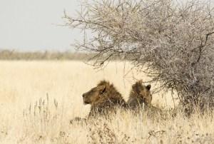 Una pareja de leones en el Parque Nacional Etosha, Namibia