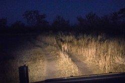 Siguiendo a una leona de noche dentro de la reserva Moremi, Botswana