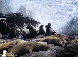 La colonia de leones marinos fomra la Cape Cross Seal Reserve, Namibia