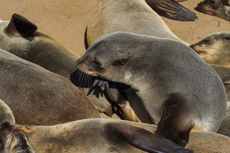 Hay unas pasarelas para acercarse y observar a los miles de leones marinos de Cape Cross