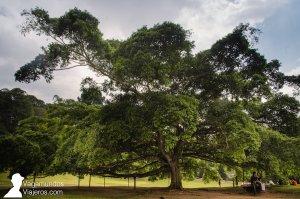 Espectacular higuera en el Jardín Botánico de Kandy, Sri Lanka