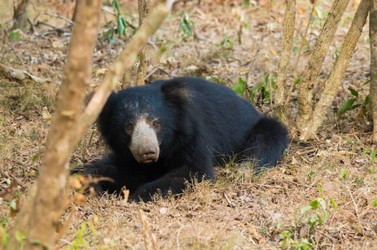 Oso perezoso en el Parque Nacional Wilpattu, Sri Lanka