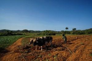 Campesino trabajando en los campos de Viñales, Cuba