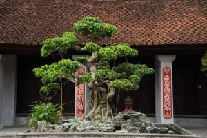 Bonsai en el Templo de la Literatura de Hanoi