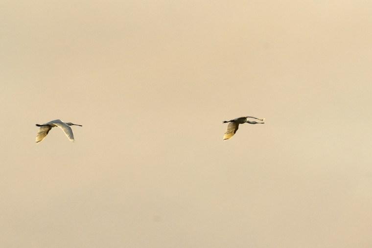 Aves sobrevolando las marismas de Odiel en Huelva