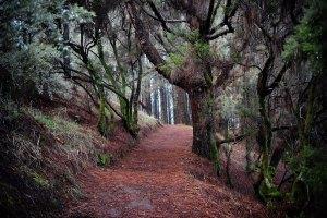 Inicio de la Ruta de los Volcanes en un denso pinar, La Palma