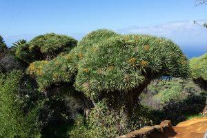 Dragos en Las Tricias, La Palma