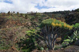 Dargos en las proximidades de las cuevas de Buracas, La Palma