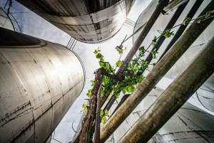 Una parra de vid creciendo entre los tanques de vino en Bodegas Crisve, Socuéllamos
