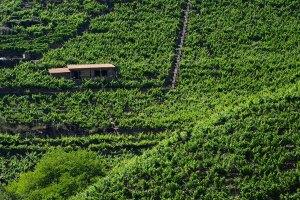 Viñedos en la Ribeira Sacra, con los raíeles que usan para subir las cajas con las uvas durante la vendimia