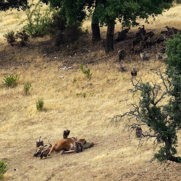 Buitres comiendo en las inmediaciones de la casa rural Sierra de Monfragüe