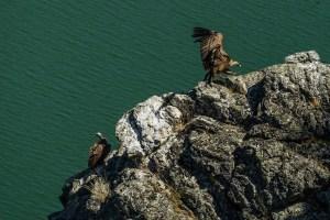Buitres en el mirador del Sato del Gitano, Monfragüe
